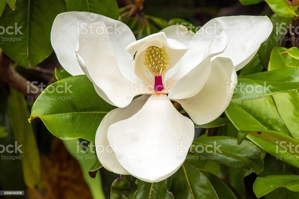 Southern Magnolia Blossom stock photo