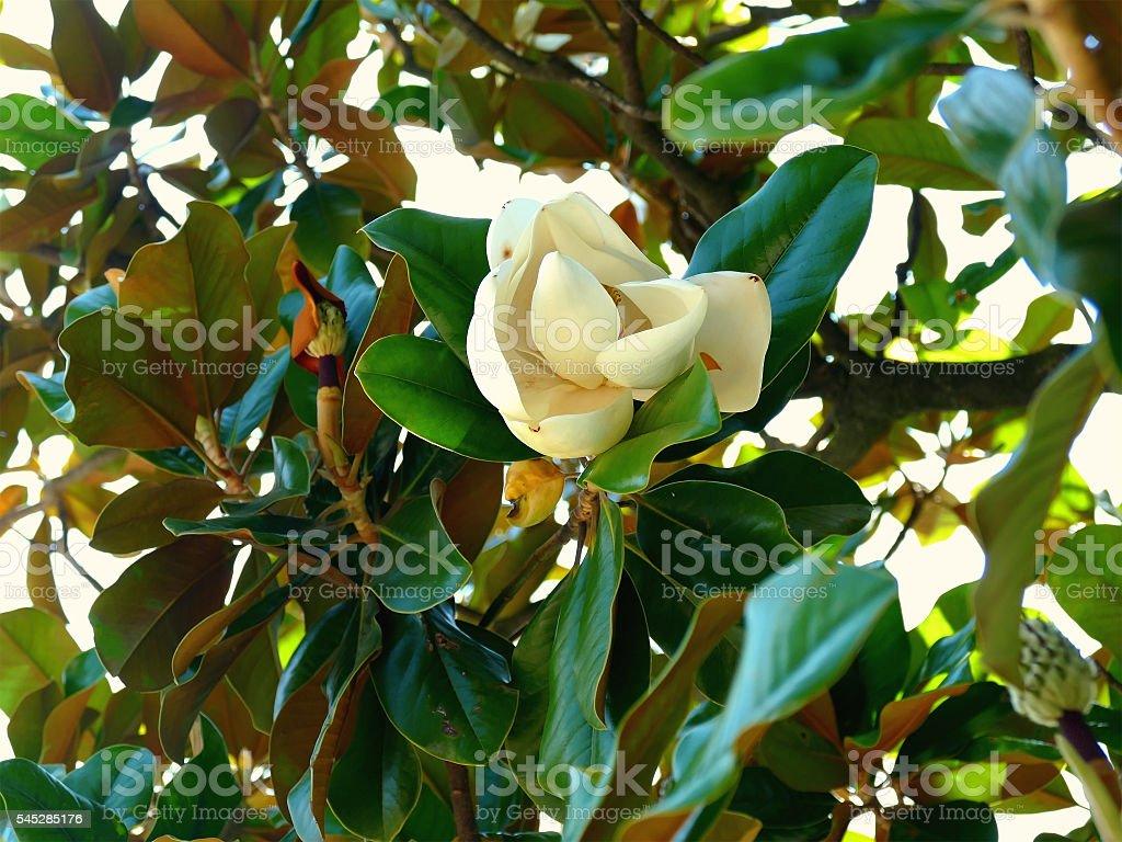 Southern Magnolia Flower stock photo