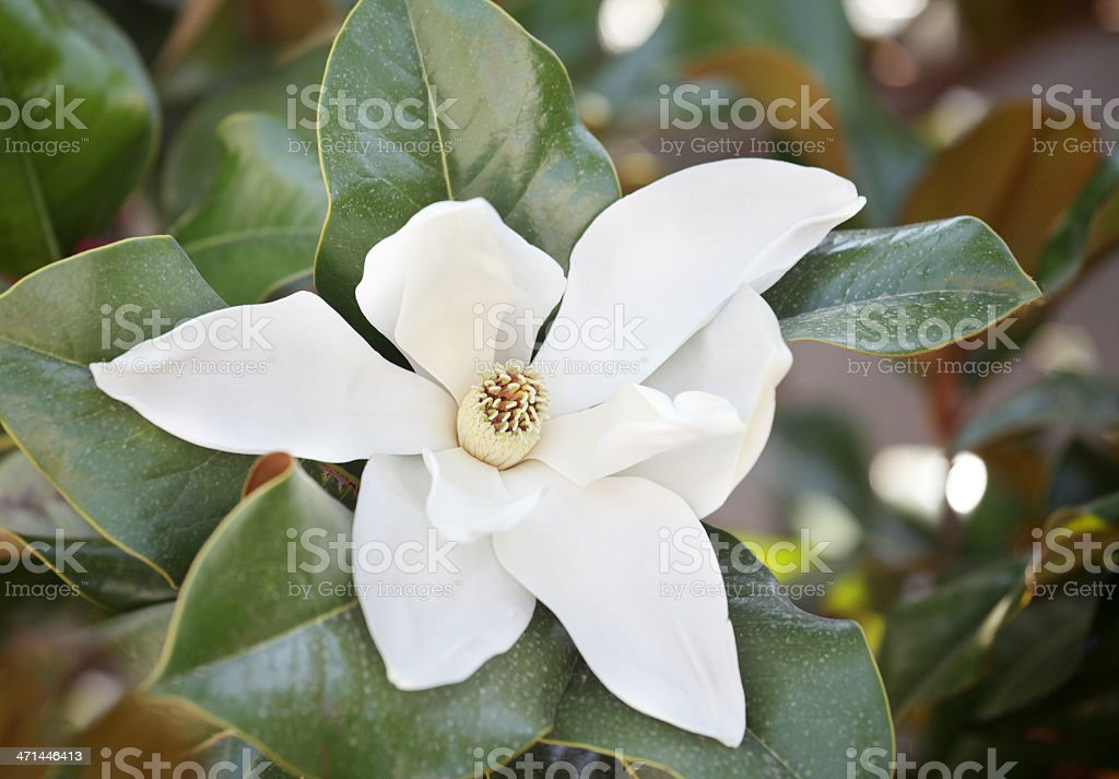 southern magnolia outdoor shot stock photo