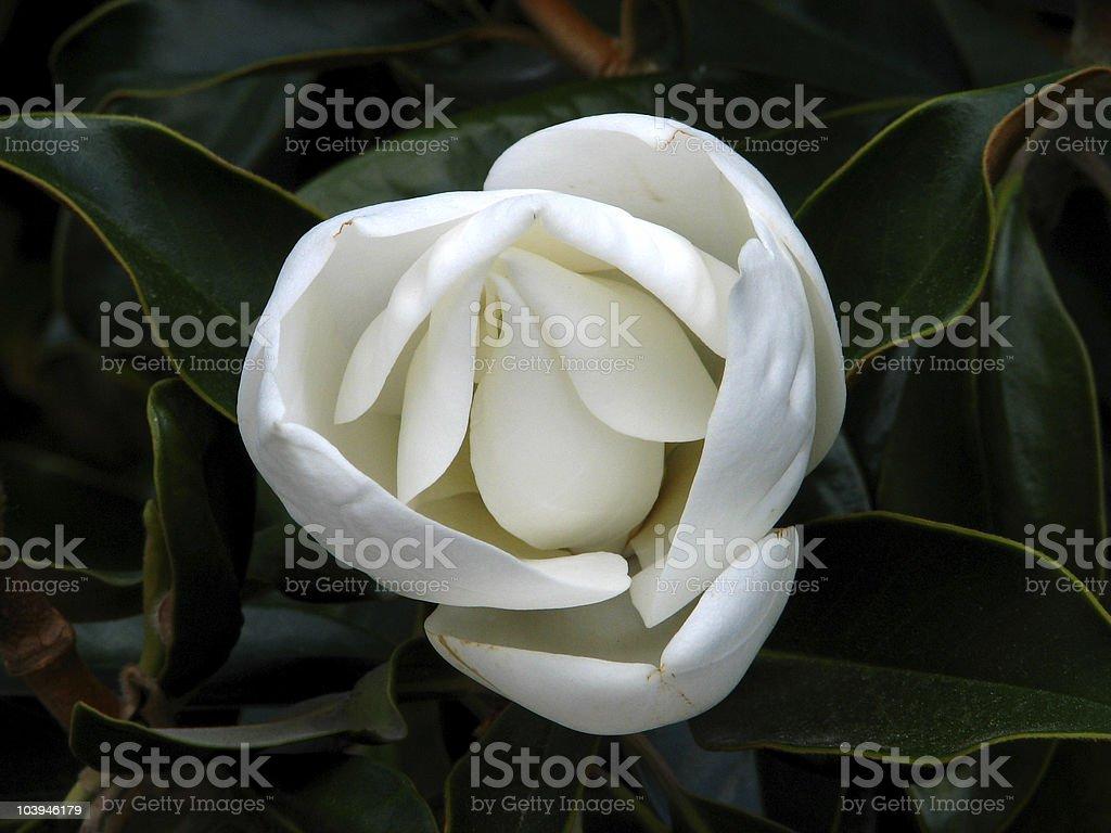 southern magnolia royalty-free stock photo