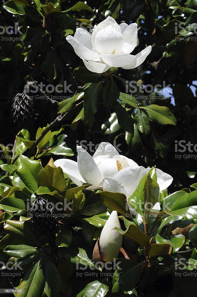 Southern Magnolia royalty-free stock photo