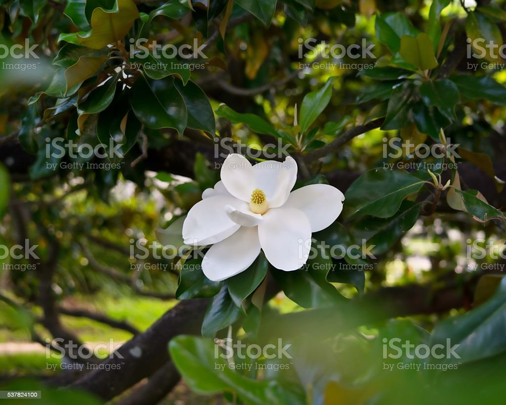 Southern Magnolia Stock Photo More Pictures Of Environmental