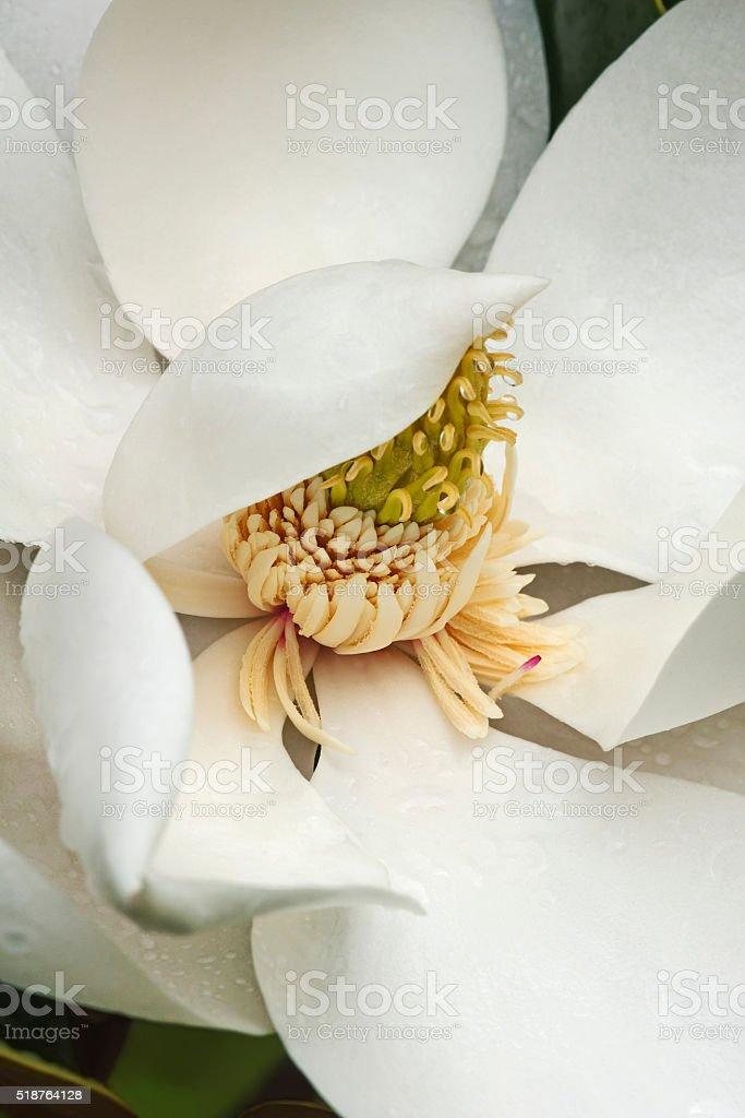 Southern magnoliaflower (Magnolia grandiflora) stock photo