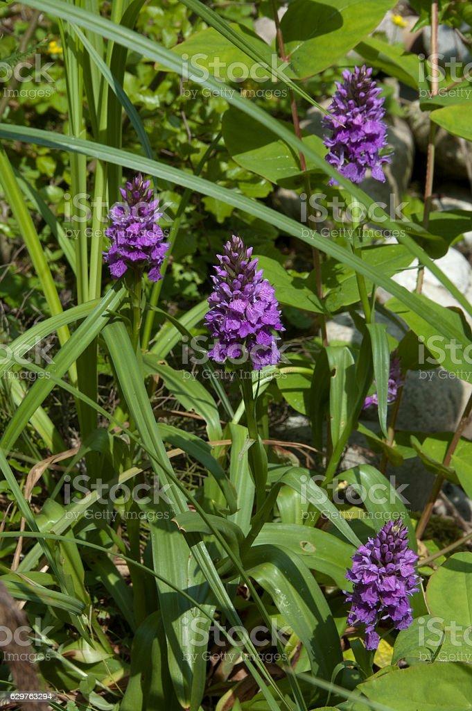 Southern Marsh Orchid (Dactylorhiza praetensis) stock photo