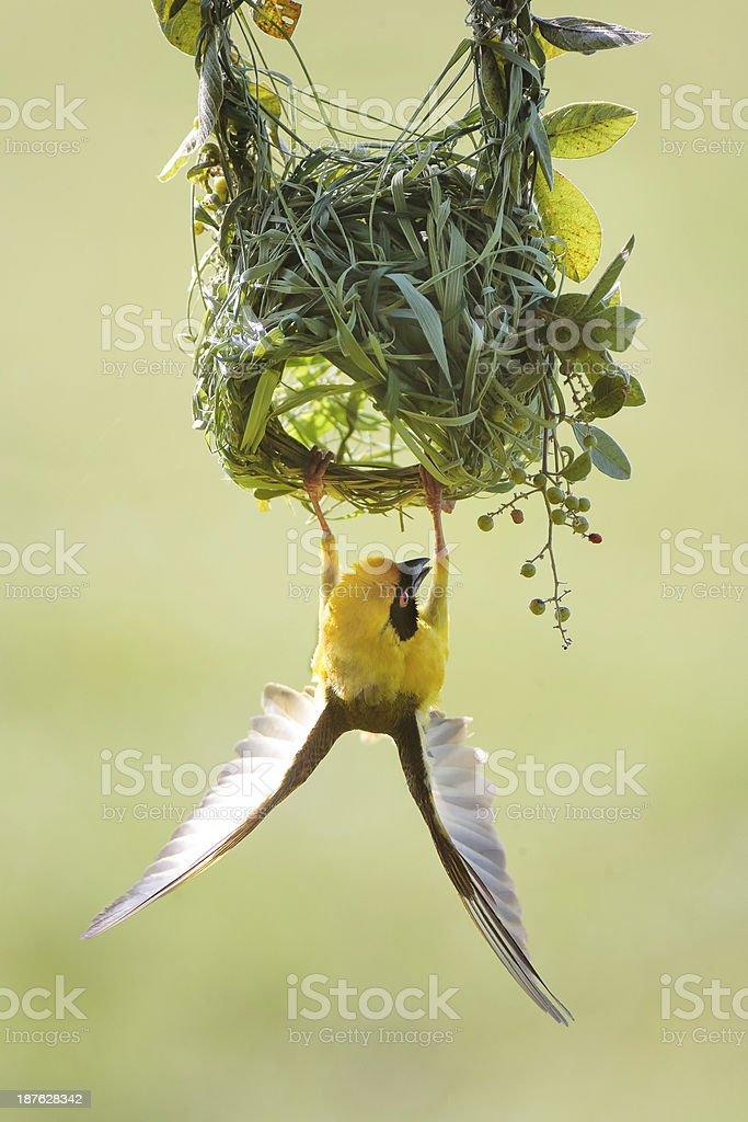 Southern Masked Weaver Bird stock photo