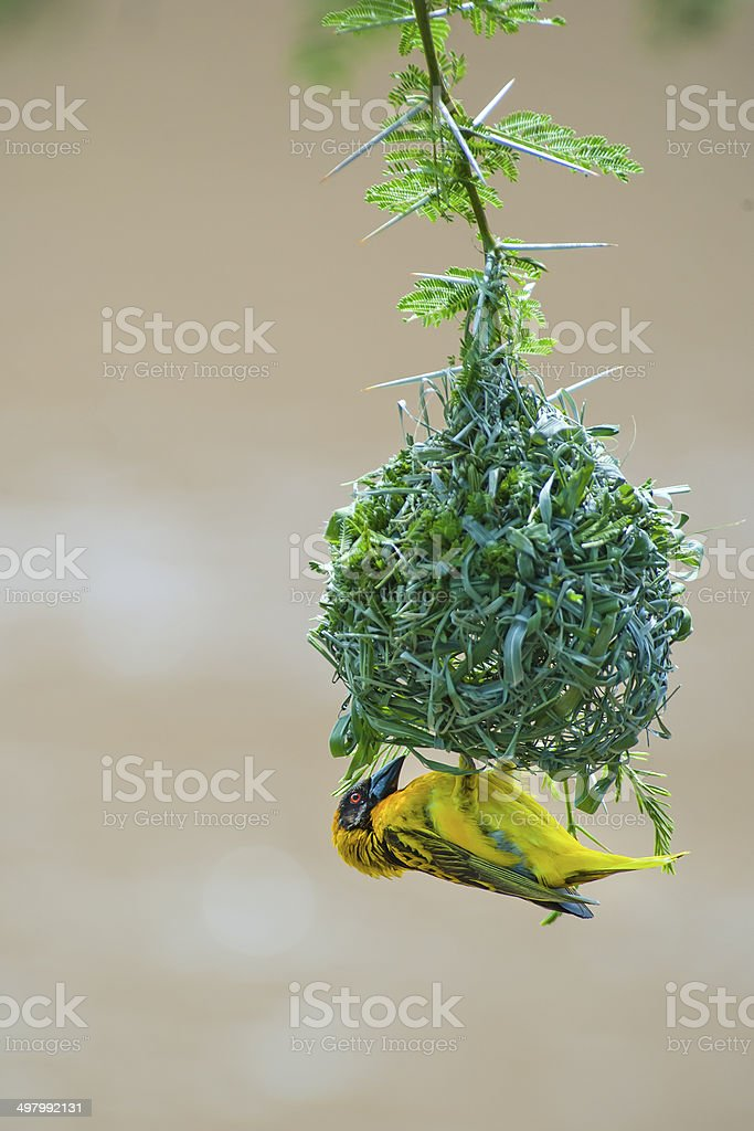 Southern Masked Weaver Bird working on his nest stock photo