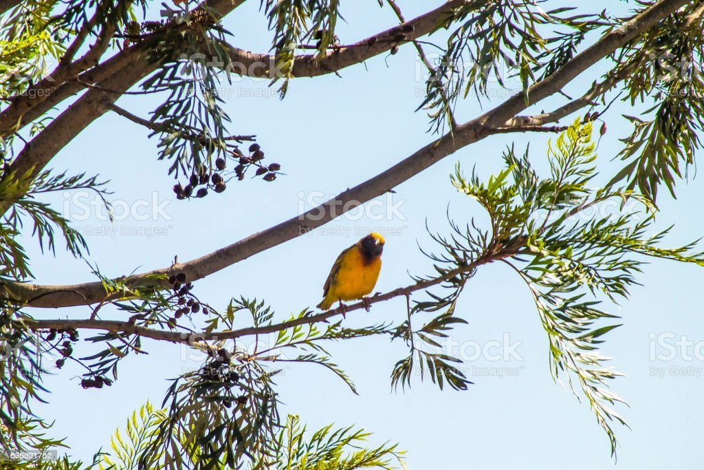 Southern Masked Weaver on a tree stock photo