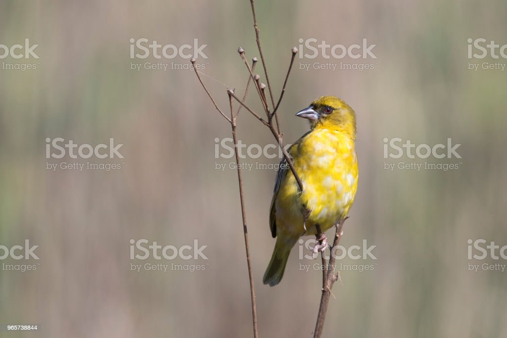 Southern masked weaver on twig - Royalty-free Africa Stock Photo