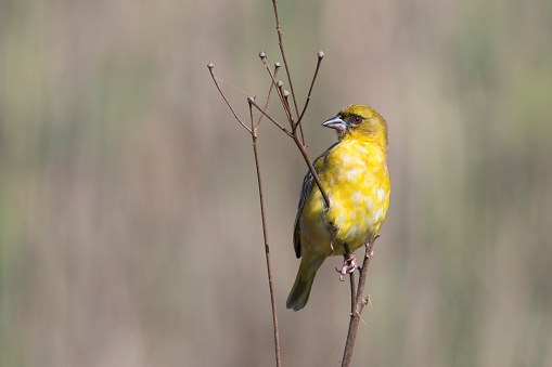 Southern Masked Weaver On Twig Stock Photo - Download Image Now