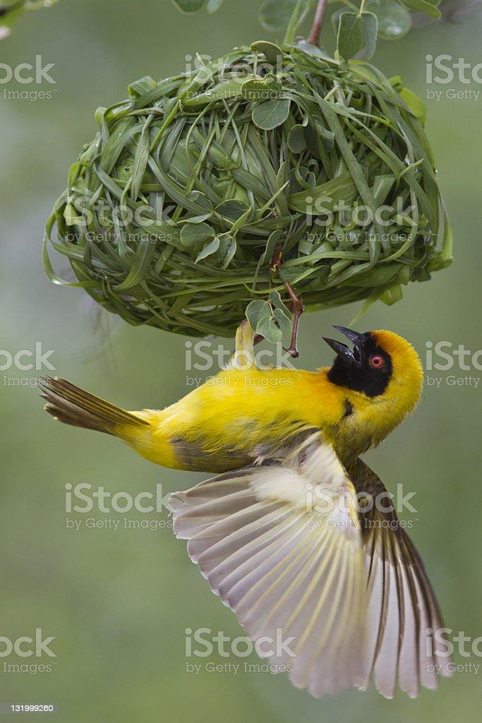 Southern Masked Weaver (Ploceus velatus) stock photo