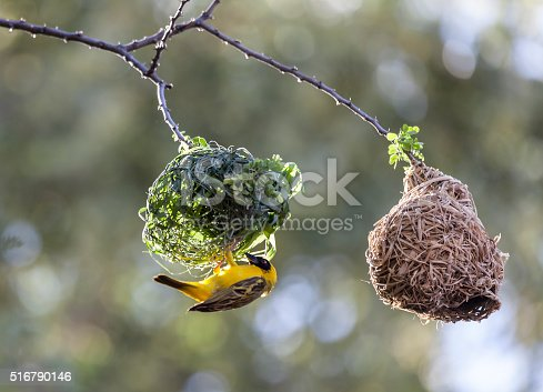 A male Southern Masked Weaver, Ploceus velatus, building a nest next to an older nest where the grass has dried. Each male bird builds several nests over a season.