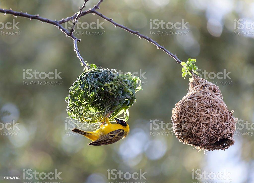 Southern Masked Weaver, Ploceus velatus, building nest, Namibia.. stock photo
