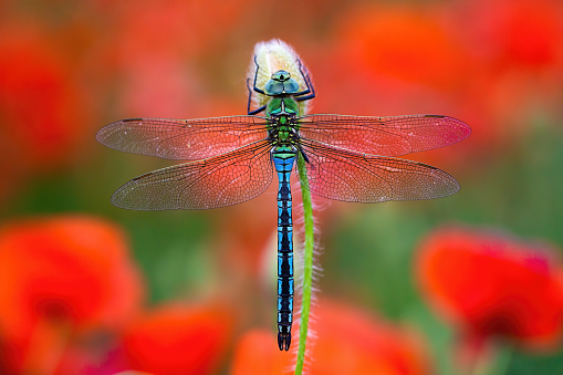 Fragile southern migrant hawker, aeshna affinis, sitting on flower with red poppies blooming in background. Blue dragonfly resting still from top view on colorful meadow in summer nature.