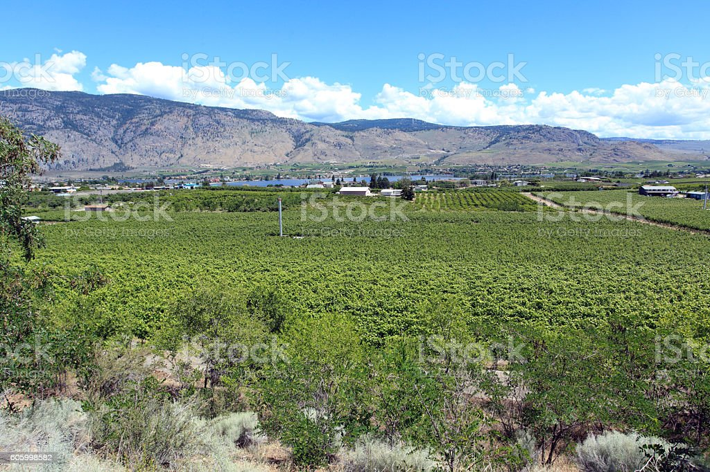 Southern Okanagan Vineyard Landscape In June stock photo