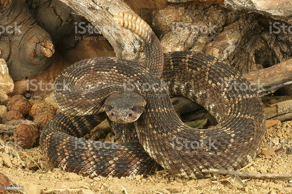 Southern Pacific Rattlesnake (Crotalus viridis helleri) royalty-free stock photo
