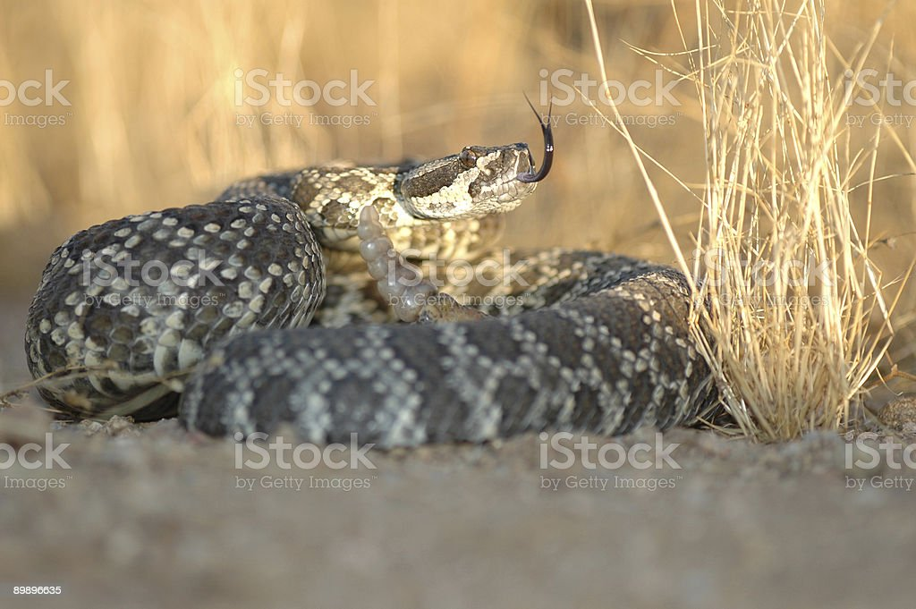 Southern Pacific Rattlesnake royalty-free stock photo