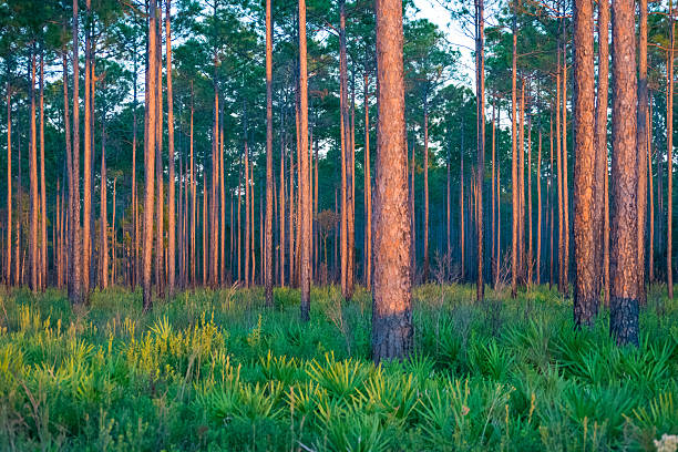Southern Pine Forest Forest of pine trees in the Southern United States. southern usa stock pictures, royalty-free photos & images