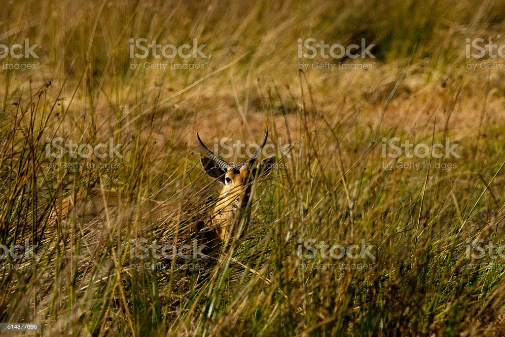 Southern reedbuck stock photo