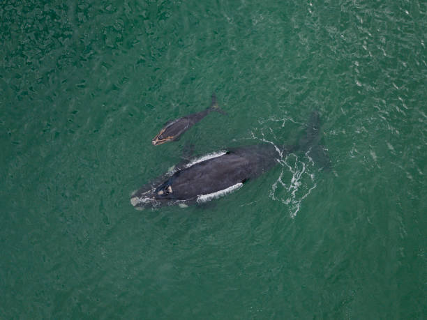 Southern right whale and her calf stock photo