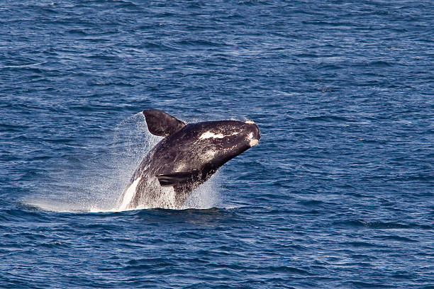 southern right whale breaching - noord stockfoto's en -beelden
