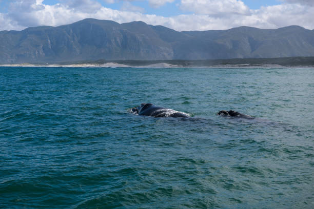 Southern Right Whale female with her calf in the indian ocean at Hermanus stock photo