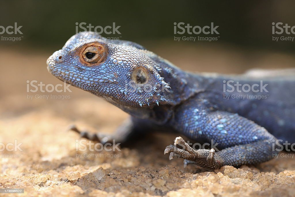 Southern Rock Agama stock photo