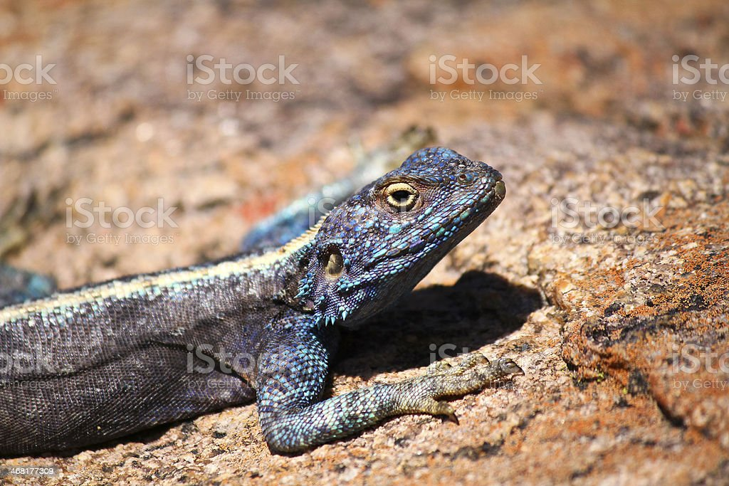 Southern Rock Agama - Republic of South Africa Southern Rock Agama Africa Stock Photo