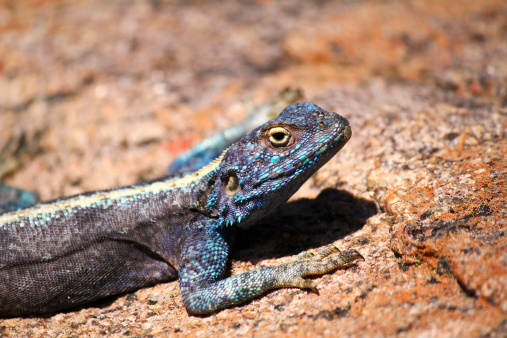 Southern Rock Agama Republic Of South Africa Stock Photo - Download Image Now