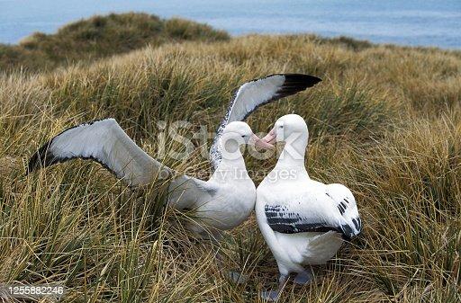 Southern Royal Albatross, diomedea melanophris, Pair Courting, Antarctica