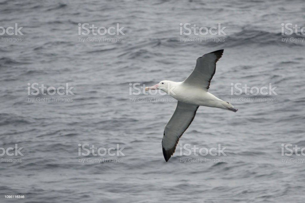 Southern royal albatross flies over Drake Passage off Antarctic Peninsula stock photo