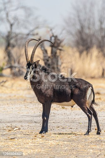 southern sable antelope also known as the common sable antelope, black sable antelope, Hippotragus niger. Savute Area of Chobe National Park, Botswana, Artiodactyla, Bovidae. Uncommon to see male. Hippotragus niger niger.