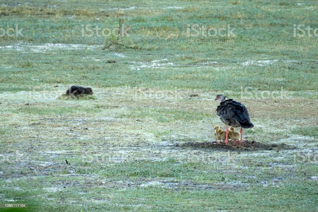 Southern screamer nesting chicks capybara Constanera Sur Ecological Reserve Buenos Aires Argentina stock photo