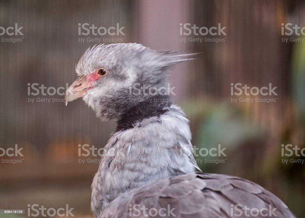 Southern Screamer (Chauna torquata) stock photo
