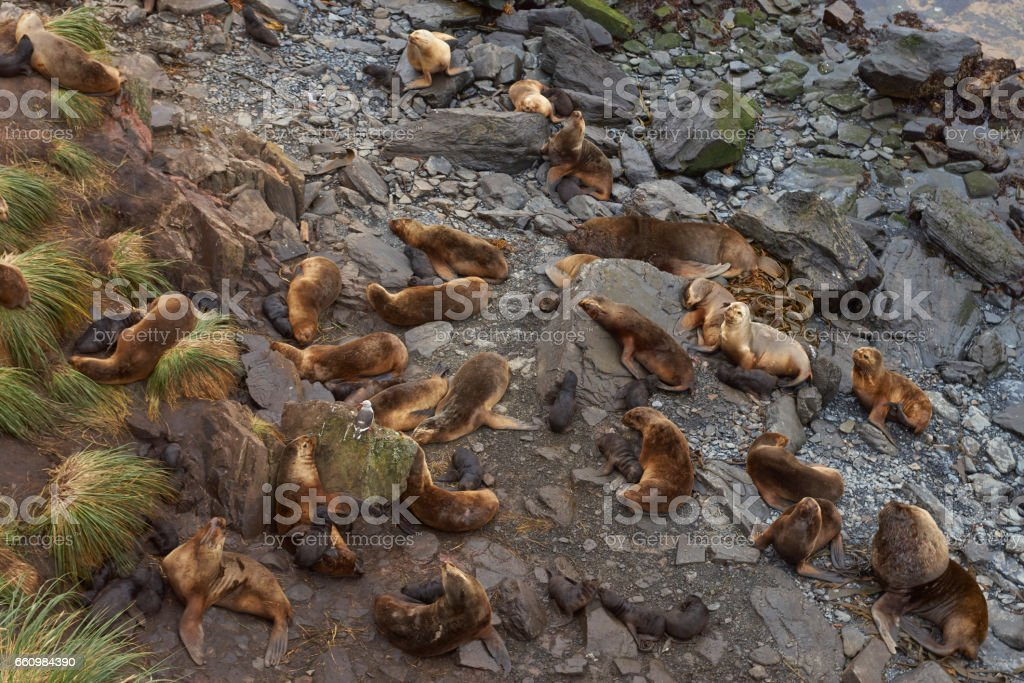 Southern Sea Lions on the Falkland Islands stock photo