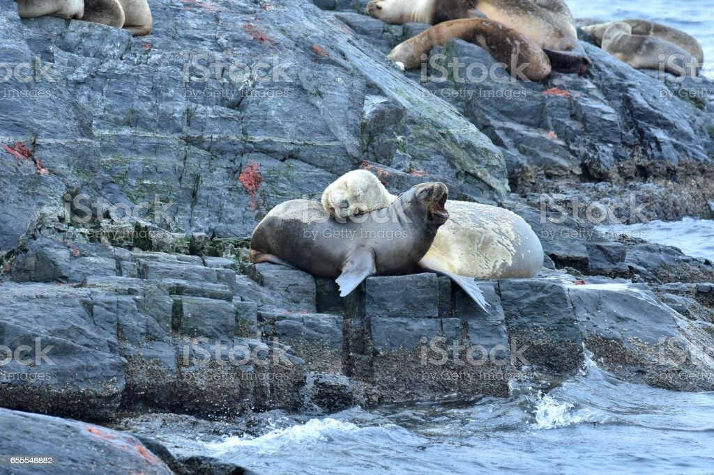 Southern Sea Lions stock photo