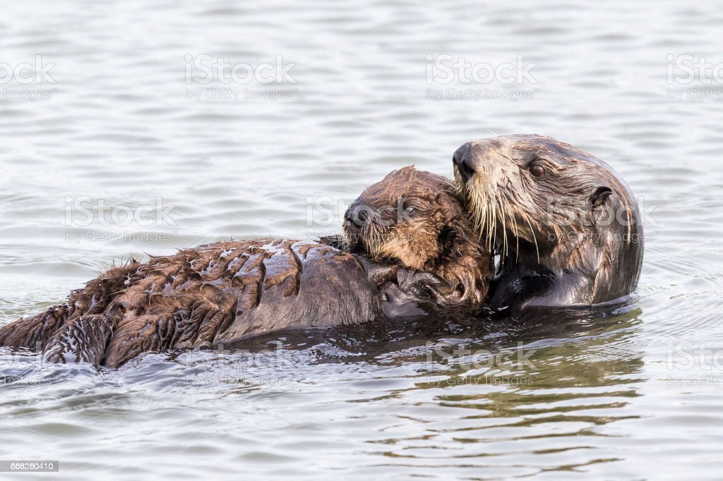 Southern Sea Otter cradling her pup - Monterey Peninsula, California foto stock royalty-free