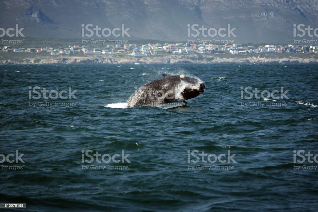 Southern smooth whale jumping out of the water stock photo