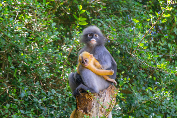 Southern Spectacled Langur, dusky leaf monkey,Trachypithecus obscurus with the baby on the tree stump On kind of monkey langur stock pictures, royalty-free photos & images