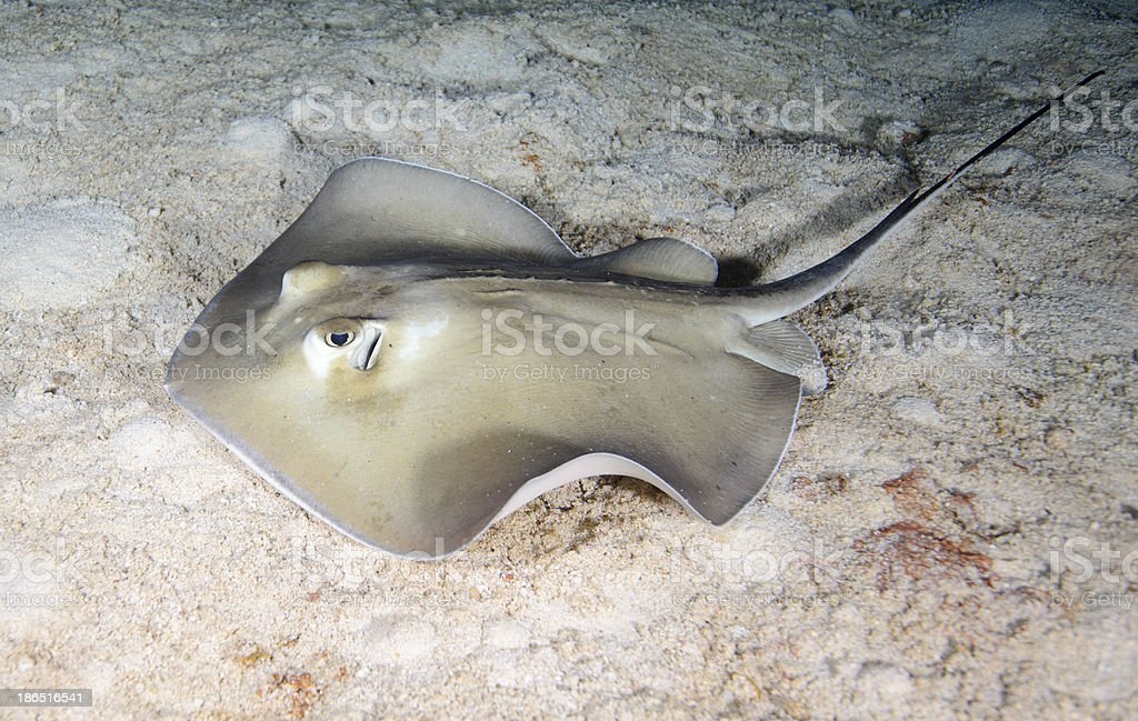Southern Stingray royalty-free stock photo