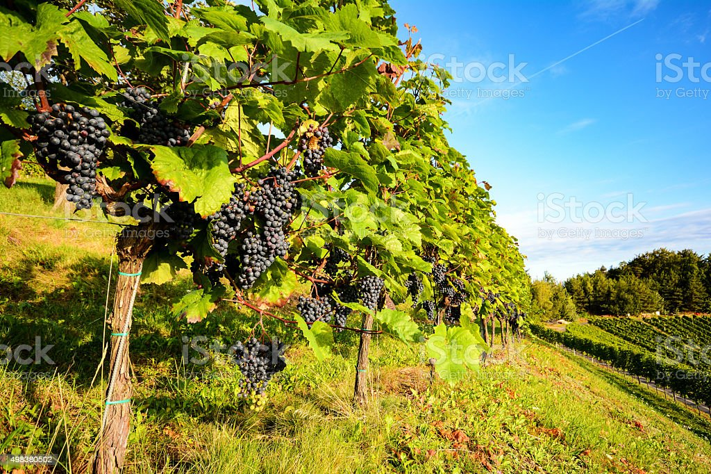 Southern Styria: Grape vines in the vineyard before harvest stock photo