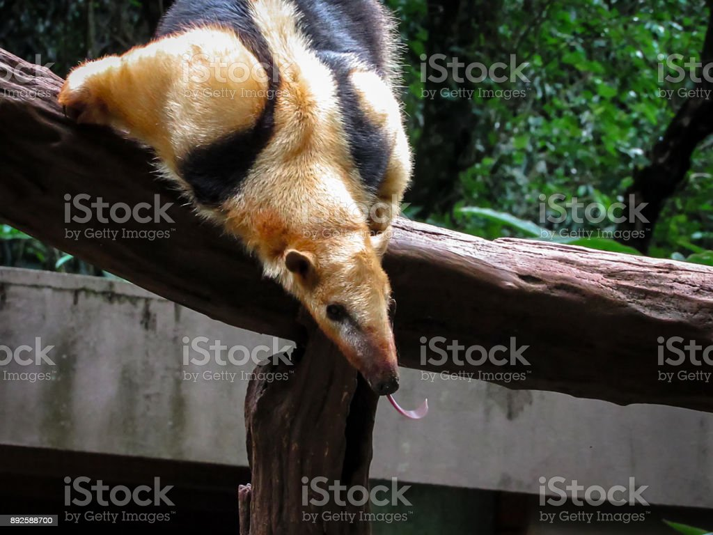 Southern Tamandua (Tamandua tetradactyla), also known as Collared Anteater or Lesser Anteater stock photo