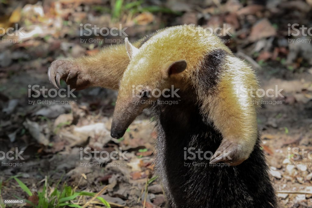 Southern tamandua on the ground in defensive attitude stock photo