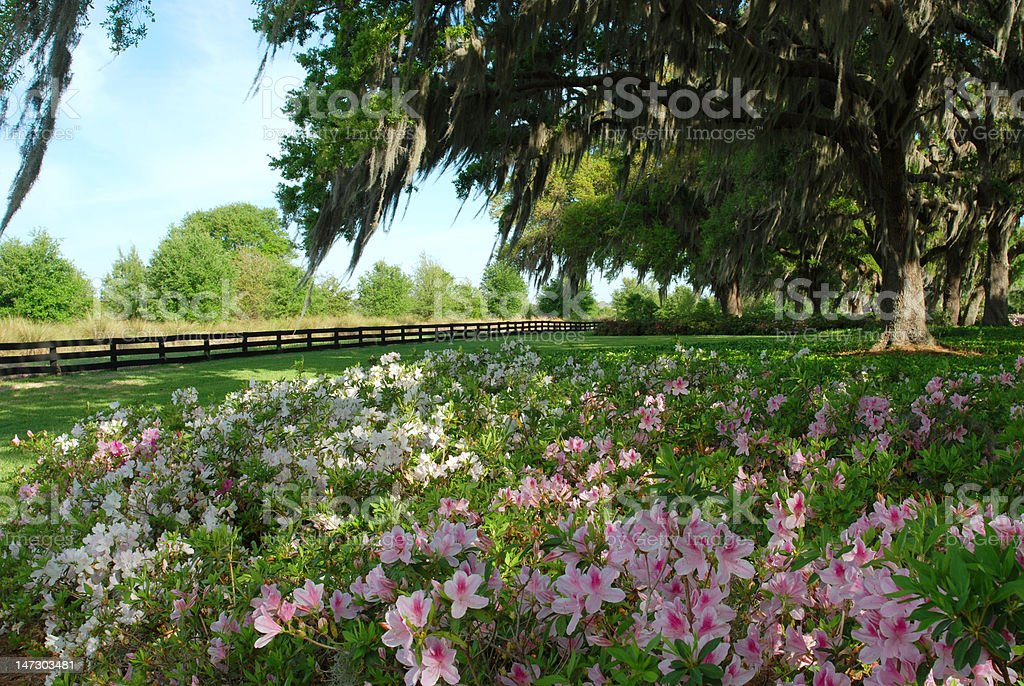 Southern View of Azaleas and Oak Trees stock photo