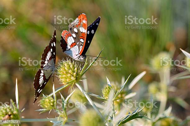 Southern white admiral butterflies picture id482725231?b=1&k=6&m=482725231&s=612x612&h=2v xa5  jxqcfil6diie9yhl1ettlz3mmnclswclm i=