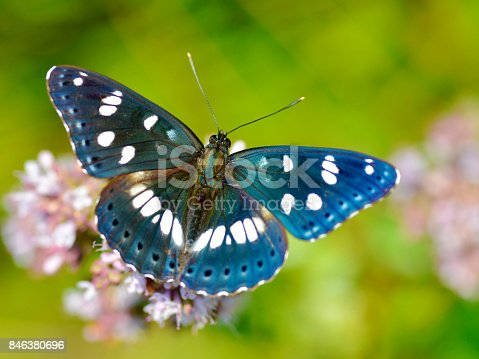 istock Southern White Admiral butterfly 846380696
