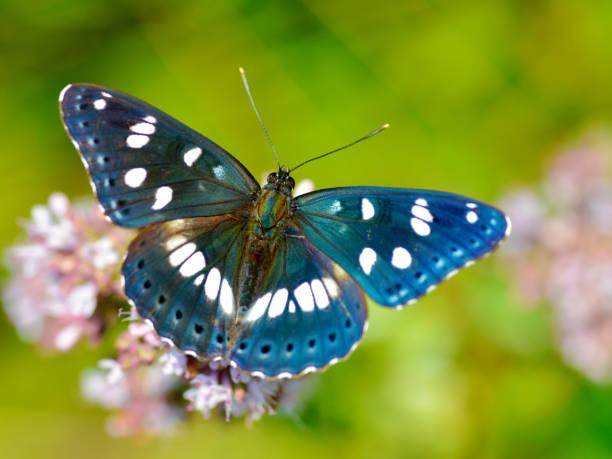 Mariposa numerada blanco del sur - foto de stock