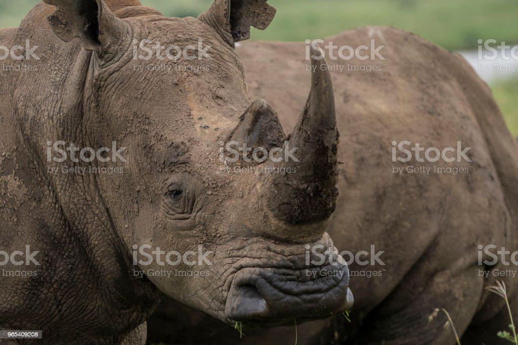Southern White Rhino zbiór zdjęć royalty-free