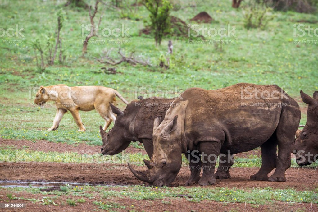 Southern white rhinoceros and African lion in Kruger National park, South Africa stock photo