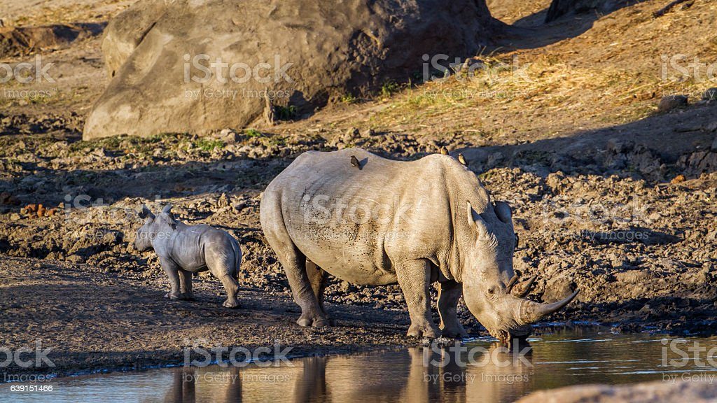 Southern white rhinoceros in Kruger National park, South Africa stock photo