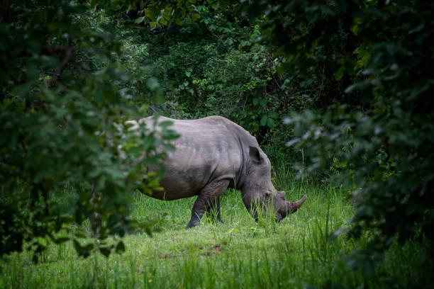 Southern White rhinoceros (Ceratotherium simum simum) in Uganda stock photo